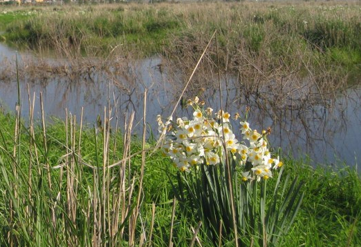 Narcissus at the Nov Swamp, Golan Heights