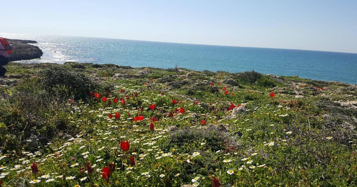 Tulips bloom on March at Dor Habonim Beach